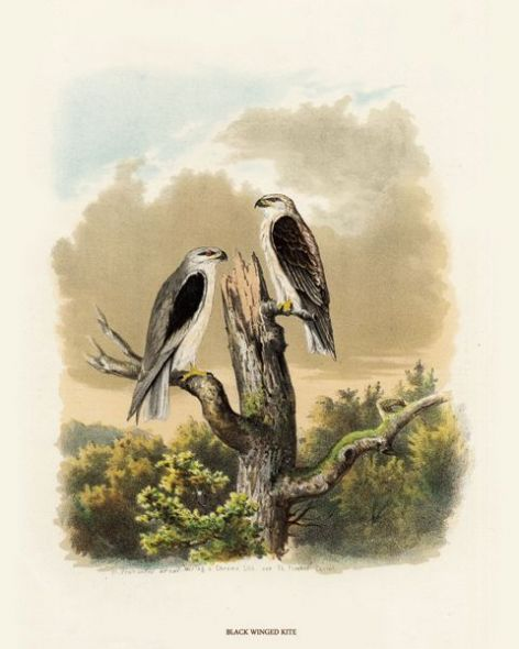 Fine Art Print of the Black Winged Kite by O V Riesenthal (1876)